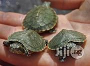 Turtle For Sale For Fish Bowls/ Aquariums | Reptiles for sale in Mushin