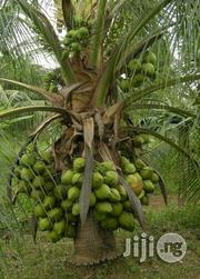 Dwarf Coconut Seed   Agriculture and Foodstuff for sale in Kubwa